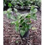 ต้นเนียมหอม (ชุด 10ต้น) (ต้นละ70บาท)