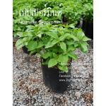 ต้นเปปเปอร์มิ้นต์ Japanese Peppermint ชุด 5 ต้น
