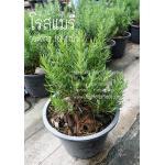 ต้นโรสแมรี่ Rosemary กระถาง 10-11นิ้ว ต้นละ 500บาท