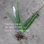 ต้นพันธุ์ หน่อว่านหางจระเข้ ชุด 5 ต้น thumbnail 1