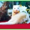เฟอเรต (Ferret)