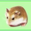 แฮมสเตอร์ Hamsters