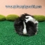 PM4439 Peruvian/Boar/Black&White/Sir&Madam Newly Import พีรูเวียน/ผู้ thumbnail 2