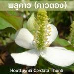 ขาวละออเภสัช พลูคาว (คาวตอง) Houttuynia Cordata Thunb