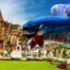 """(ขายแล้วครับ)ตอนรับปีใหม่""""คัดเกรด""""ปลากัดครีบสั้น-Halfmoon Plakats Fancy Thailand"""