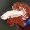มังกรแดง ปลากัดคัดเกรดครีบสั้น - Halfmoon Plakad Red Dragon Premium Quality Grade
