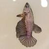 ปลากัดคัดเกรดครีบยาวเพศเมีย - Halfmoon Balck Copper Premium Quality Grade AAA+