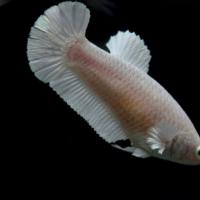 ปลากัดเพศเมีย (Female Hallfmoon Plakad Quality Grade)