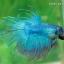 (ขายแล้วครับ)ปลากัด ครีบยาว หางมงกุฎ สีเขียว - Crowntails (ขายเป็นคู่) thumbnail 3