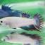 (ขายแล้วครับ)ปลากัด ครีบยาว หางมงกุฎ สีเขียว - Crowntails (ขายเป็นคู่) thumbnail 6
