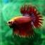 (ขายแล้วครับ)ปลากัดครีบยาวหางมงกุฎ-Crowntails Red thumbnail 11