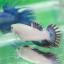 (ขายแล้วครับ)ปลากัด ครีบยาว หางมงกุฎ สีเขียว - Crowntails (ขายเป็นคู่) thumbnail 5