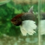 """(ขายแล้วครับ)""""คัดเกรด""""ปลากัดครีบสั้นหูช้าง-Halfmoon Plakats Big Ear Lavender thumbnail 13"""