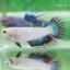 (ขายแล้วครับ)ปลากัด ครีบยาว หางมงกุฎ สีเขียว - Crowntails (ขายเป็นคู่) thumbnail 7