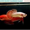 """(ขายแล้วครับ)""""คัดเกรด""""ปลากัดครีบสั้น-Halfmoon Plakats Orange Dragon"""