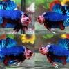 ปลากัดคัดเกรดครีบสั้นล - Halfmoon Plakad Fancy Blue Monster Premium Quality Grade