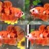 (สามสีพ่อพันธุ์)ปลากัดคัดเกรดครีบสั้น - Halfmoon Plakad Fancy KOI 3 สี Premium Quality Grade