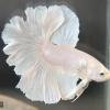 ปลากัดคัดเกรดครีบยาว - Halfmoon Rose Tails White Platinum Premium Quality Grade AAA+ .