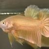 ปลากัดสีทอง ปลากัดคัดเกรดครีบสั้น - Halfmoon Plakad Super Gold Premium Quality Grade