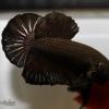 ปลากัดคัดเกรดครีบสั้น - Halfmoon Plakad Super Black Premium Quality Grade