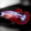 ปลากัดคัดเกรดครีบสั้นตัวเมีย - Female Halfmoon Plakad Fancy Dragon Premium Quality Grade