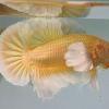 ปลากัดคัดเกรดหูช้างครีบสั้นสีทอง - Halfmoon Plakad Big Ear Super Gold Premium Quality Grade
