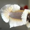 ปลากัดคัดเกรดหูช้างครีบสั้น - Halfmoon Plakad Big Ear Marble Quality Grade