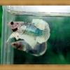 ปลากัดครีบยาว-Fancy Halfmoon Plakats