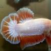 ปลาใหญ่ขนาดเกือบ 1.8-1.9 นิ้ว ปลากัดคัดเกรดครีบ - Halfmoon Plakad Fancy Dragon Premium Quality Grade