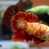 ปลากัดคัดเกรดครีบสั้น - Halfmoon Plakad Red Koi Marble Quality Grade