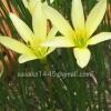 บัวดินสีเหลืองอ่อน(10หัว)