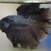 สีดำมิลาโน่ ปลากัดคัดเกรดครีบยาว - Halfmoon Black Melano Premium Quality Grade