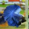 """""""ปลากัดสีน้ำเงินเข้ม""""ปลากัดคัดเกรดครีบยาว - Halfmoon Super Blue Premium Quality Grade AAA+"""