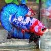 ปลากัดคัดเกรดครีบสั้น - Halfmoon Plakad Fancy Blue Monster Premium Quality Grade