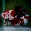 ปลากัดคัดเกรดครีบสั้นลายปลาคราฟ - Halfmoon Plakad Koi Premium Quality Grade