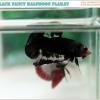 """""""คัดเกรด""""ปลากัดครีบสั้น-Halfmoon Plakats Black Fancy"""