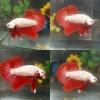 ปลากัดคัดเกรดครีบสั้นล - Halfmoon Plakad Red Dragon Premium Quality Grade