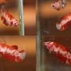 """แม่พันธุ์ไข่เต็มท้องพร้อมผสม""""ลายปลาคราฟ""""ปลากัดคัดเกรดครีบสั้นตัวเมีย - Female Halfmoon Plakad Fancy Red Koi Premium Quality Grade"""