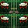 คัดเกรดปลากัดครีบสั้น-Halfmoon Plakat Red Dragon Grade AAA+