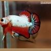 ปลากัดครีบสั้นสีแฟนซีดราก้อน - Halfmoon Plakat Fancy Dragon