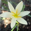 Zephyranthes Aquarius