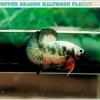 (ขายแล้วครับ)ปลากัดครีบสั้น-Halfmoon Plakat Fancy Copper Good Grade