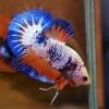 ปลาใหญ่ขนาดเกือบ 1.8-1.9 นิ้ว ปลากัดคัดเกรดครีบ - Halfmoon Plakad Fancy Dragon Premium Quality Grade AAA+