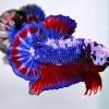 ปลากัดคัดเกรดครีบสั้นลายธงชาติ - Halfmoon Plakad Fancy Dragon Thailand Premium Quality Grade