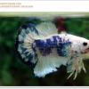 คัดเกรดปลากัดครีบสั้น-Halfmoon Plakat Fancy Marble (เกรดพ่อพันธุ์)