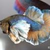 ปลากัดคัดเกรดหูช้างครีบสั้น - Halfmoon Plakad Big Ear Copper Lavender Quality Grade