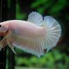คัดเกรดปลากัดครีบสั้น-Halfmoon Plakad Fancy Pink Dragon Hi Quality Grade