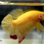 ปลากัดคัดเกรดครีบสั้น - Halfmoon Plakad Super Yellow Quality Grade