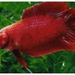 ปลากัดลูกผสม (Hybrid Betta)