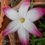 zephyranthes sp. labuffarosa summer chill จำนวน 3 หัว thumbnail 1